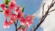 沖縄で桜を満喫!おすすめの時期を桜名所ごとにご紹介!の画像