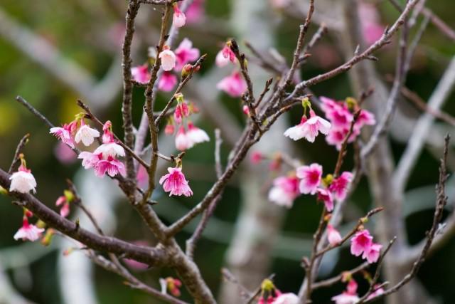 okinawa-sakura-kaika.jpg